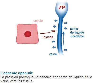 Veines3