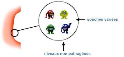 l'ulcère est colonisé par des souches variées, aucune n'atteignant un niveau pathogène